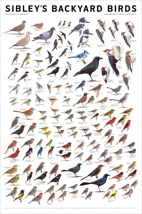 Identification Charts | Birdwatching | Bird poster, Birds ...