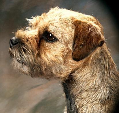 Arizona Border Terrier Breeder Champions Border Terrier Terrier