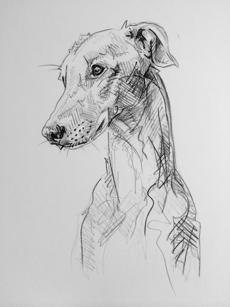 sketched dogs day 36 graphite on card by lucy wilson new zealand 5949