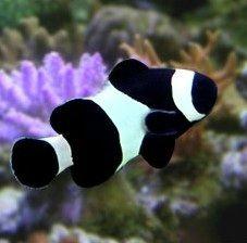 Black Clown Fish