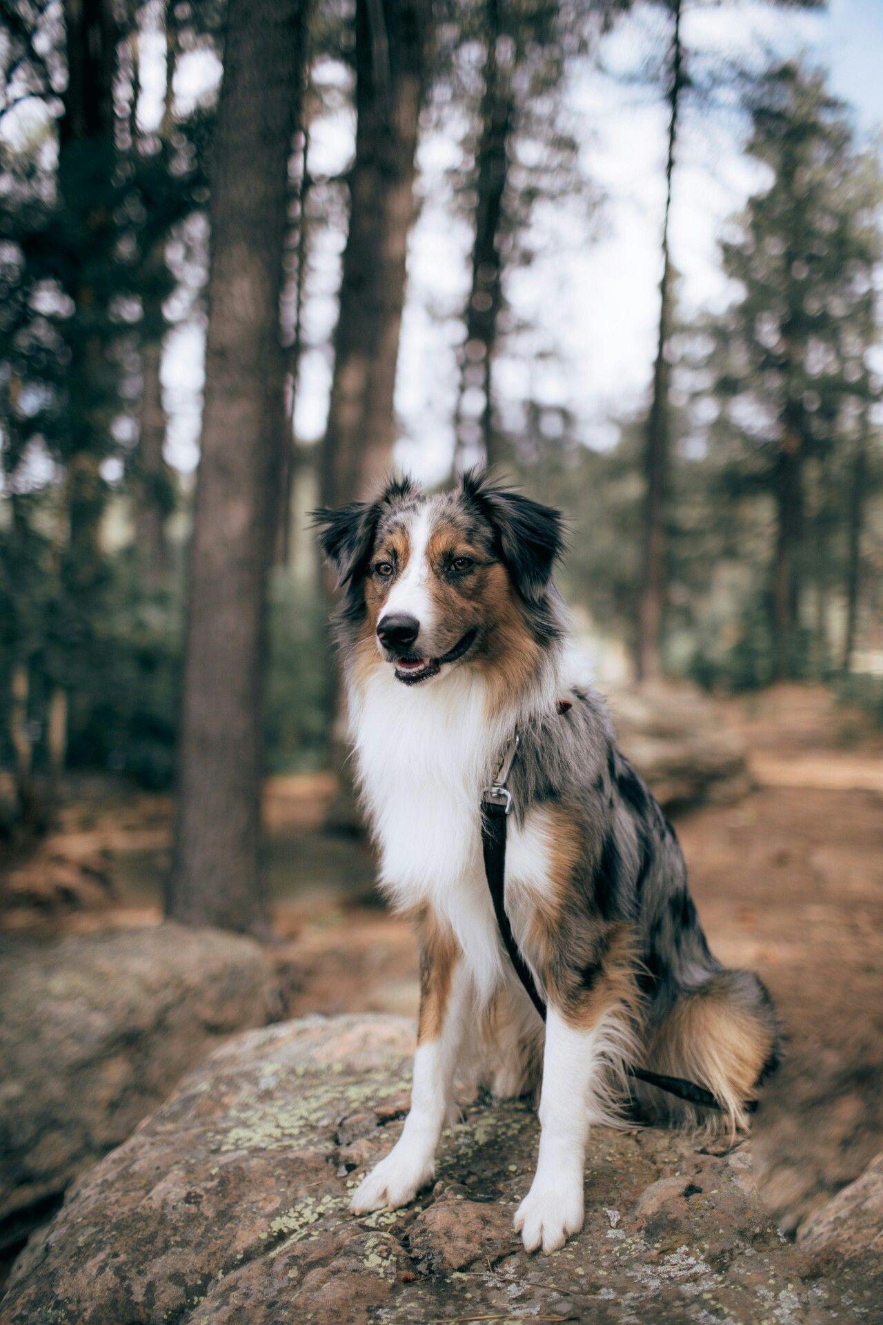 Pin By Adriana Beguerisse On Man S Best Friend Aussie Dogs Australian Shepherd Dogs Australian Shepherd