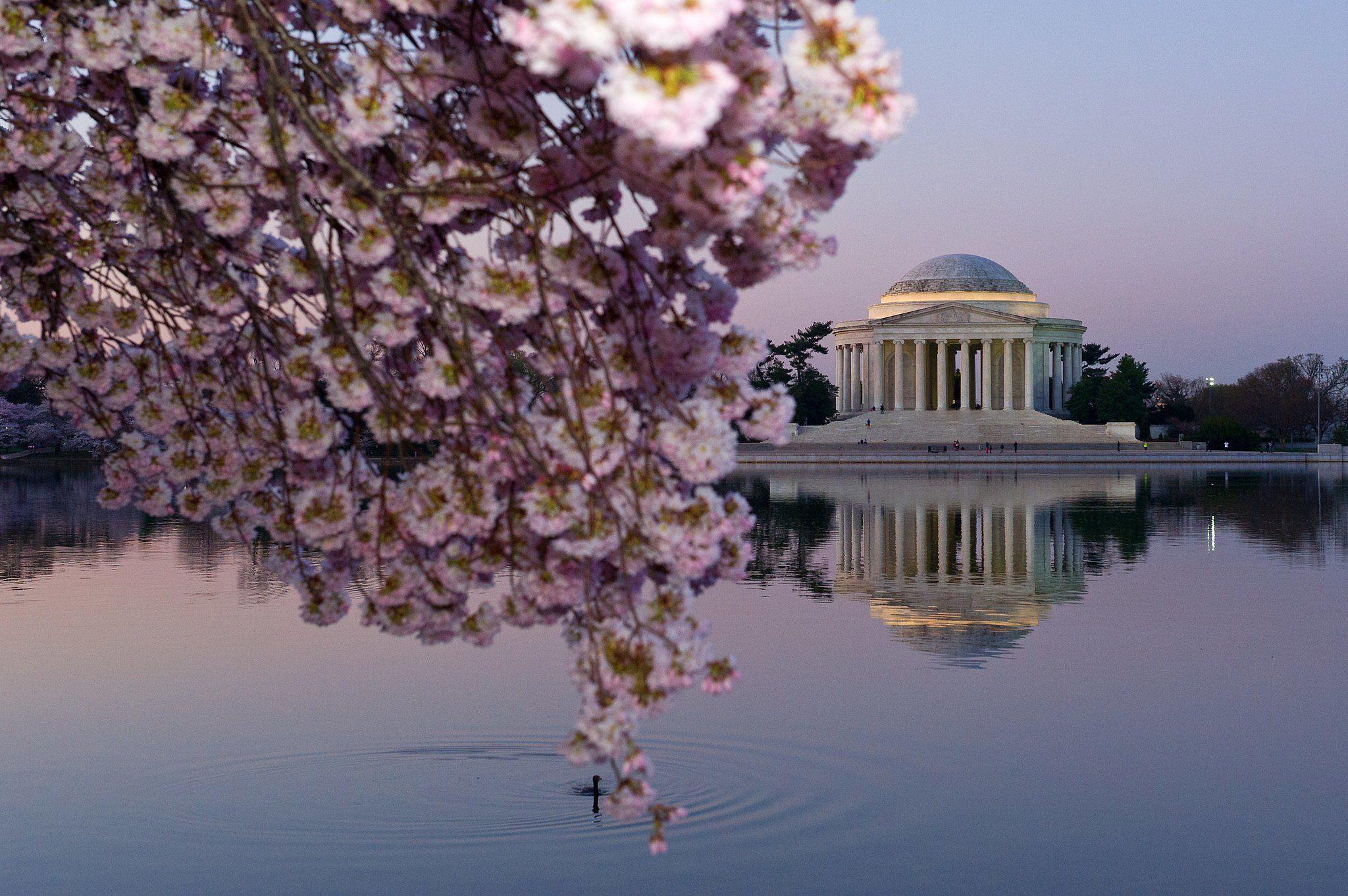 Celebrity Entertainment Washington Dc Is A Cherry Blossom Heaven Right Now Washington Dc City Living In Washington Dc Cherry Blossom Dc