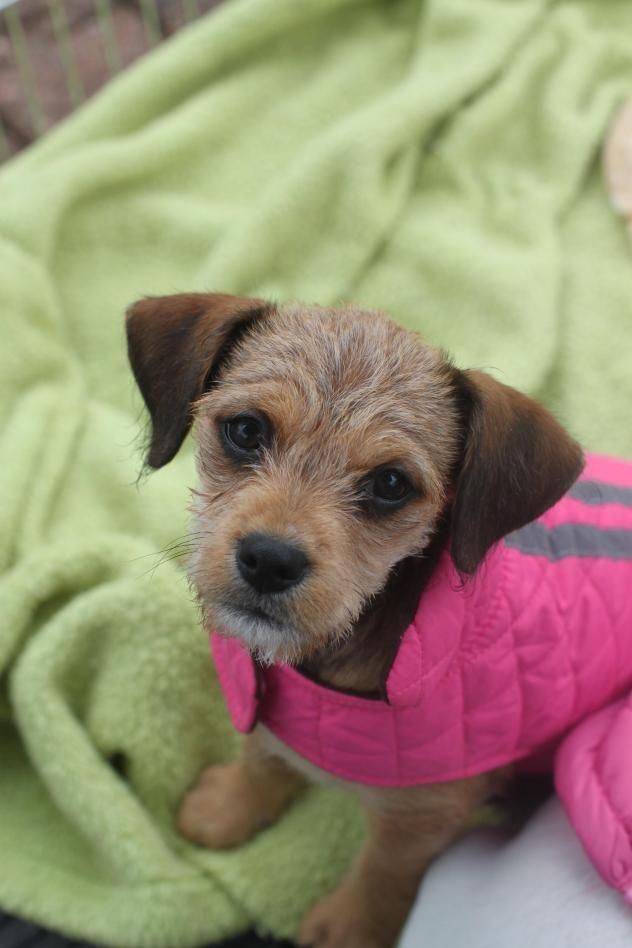 Adopt Tilly On Petfinder Wire Fox Terrier Terrier Mix Fox Terrier