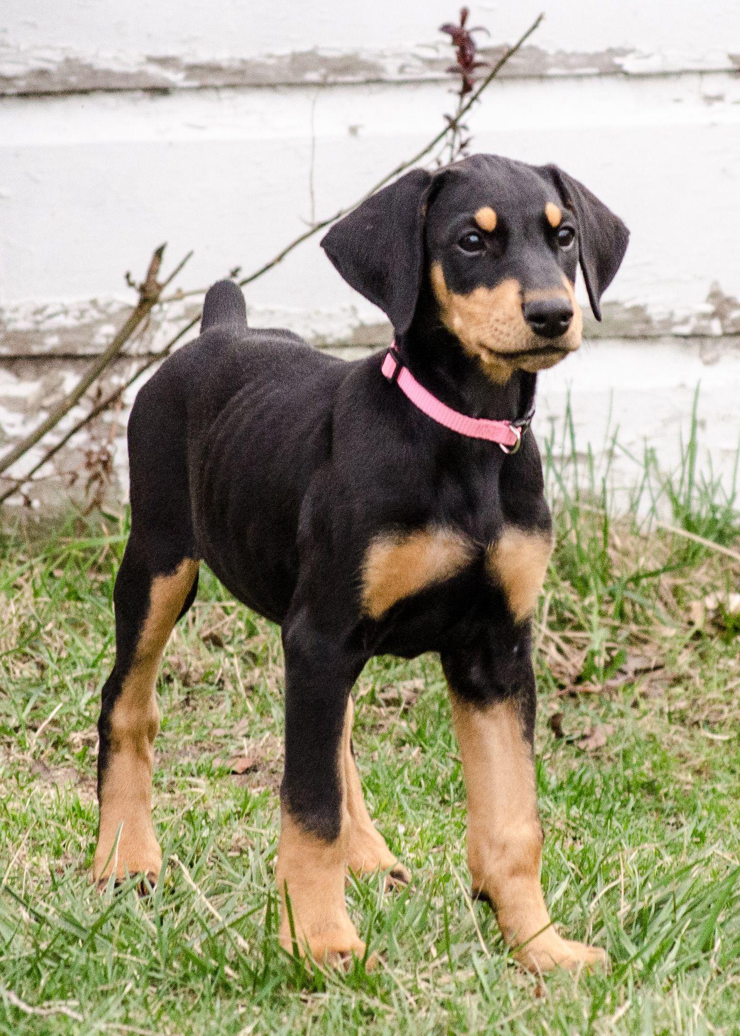 Doberman Pinscher Dog Picture With Images Doberman Pinscher