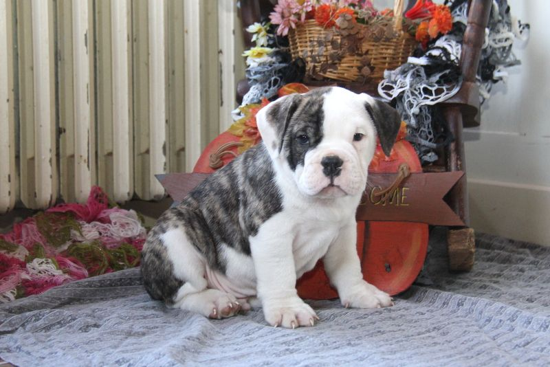 Colby Engam Bulldog Puppy For Sale In Pennsylvania Bulldog