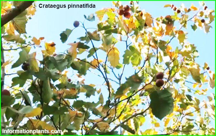 الزعرور الجبلية الصينية او التوت الصيني Crataegus Pinnatifida قسم الفواكه النبات معلومان عامه معلوماتية Plants Grapes
