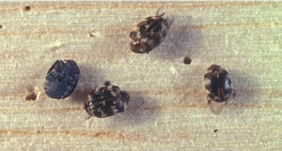 How To Get Rid Of Carpet Beetles Naturally On Your Own Types Of