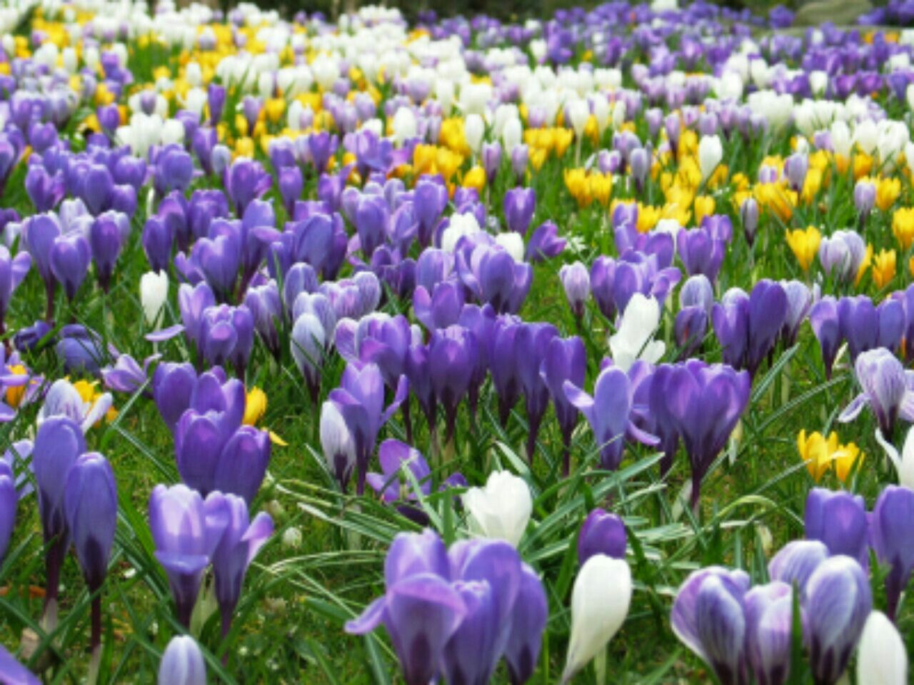Pin by rachal morgan on my purple passion pinterest passion one of the best things about spring is the huge array of flowers that begin to bloom some are even hardy enough to flower through the late snow mightylinksfo