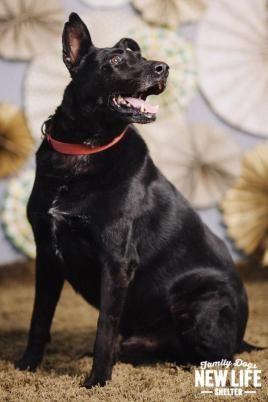 Adopt Daisy On Dog Adoption Australian Shepherd Dogs Family Dogs
