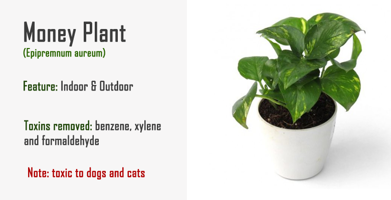 money plant air purify | natural | Money plant, Plants, Air
