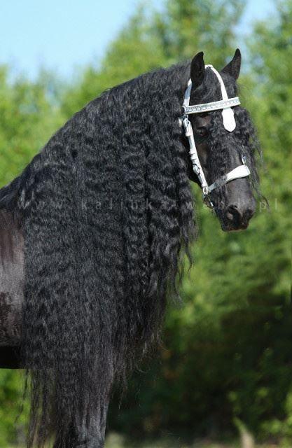 Friesian horse black stallion dressage