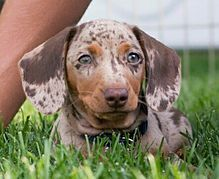 Miniature Dachshund Puppies Dapple Piebald Dachshunds
