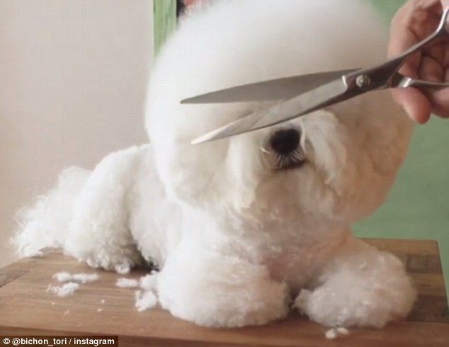 20 Cool Facts About the Bichon Frise Breed - puppytoob.com
