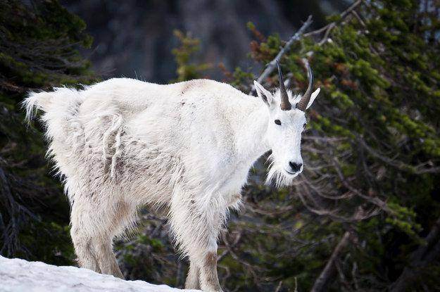 ❤ =^..^= ❤   Mountain goat.