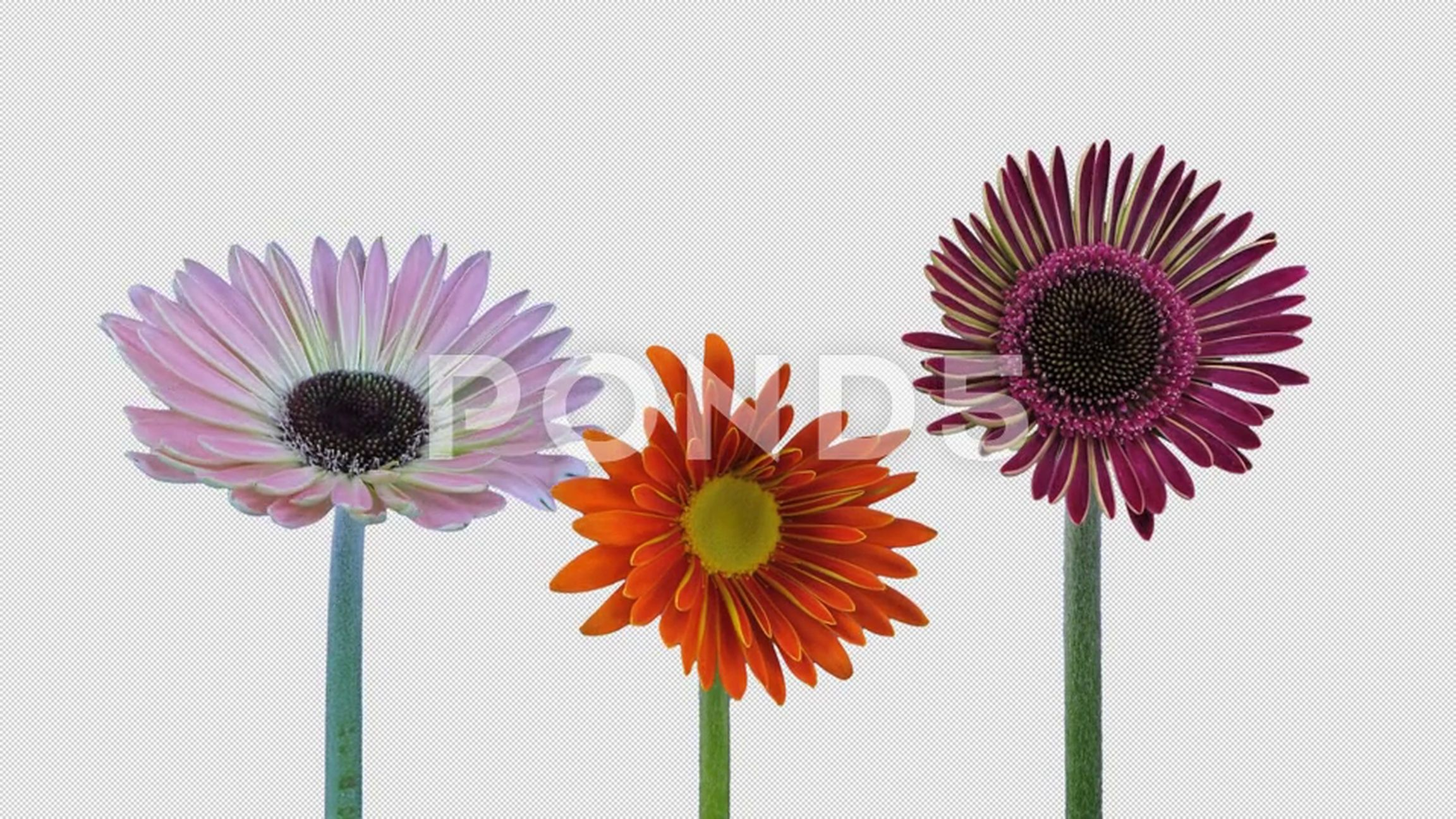Time Lapse Of Opening Gerbera Flowers With Alpha Channel 4k Stock Footage Opening Gerbera Time Lapse Gerbera Alpha Channel Pink Gerbera