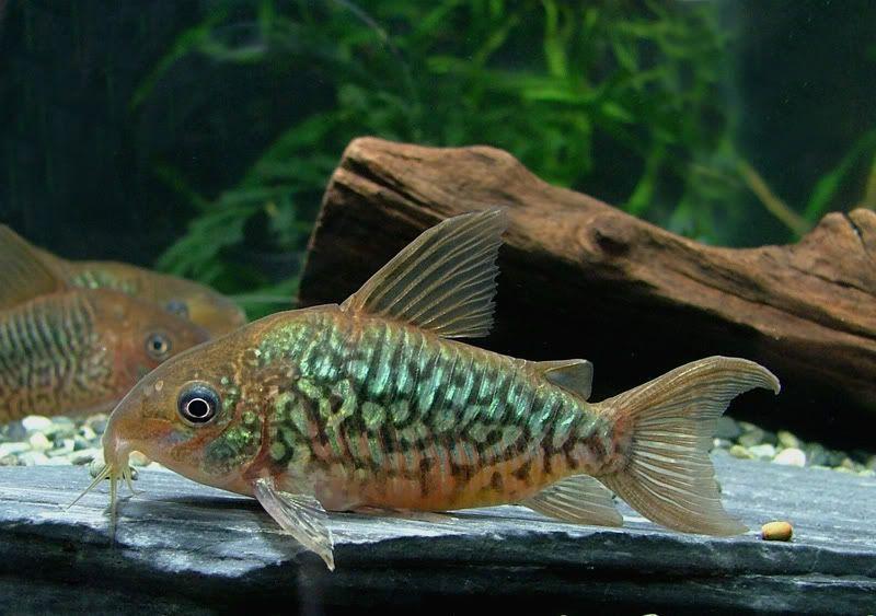 Corydoras Pantanalensis Male Pet Fish Tropical Freshwater Fish Freshwater Aquarium Fish