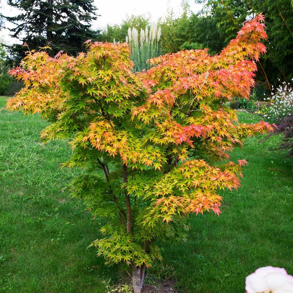 Buy Acer Palmatum Orange Dream J Parker Dutch Bulbs My Plants