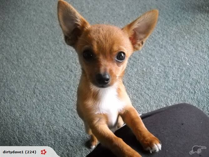 This Could Have Been Toffee As A Baby Chihuahua Mix Puppies