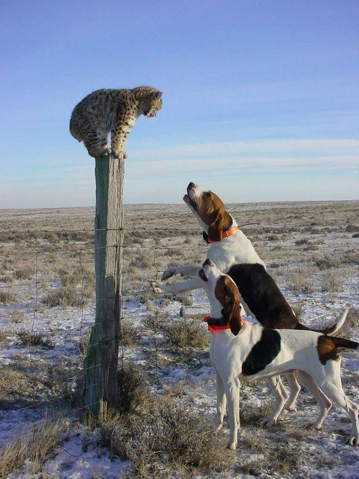 Dogs got outsmarted by baby bobcat