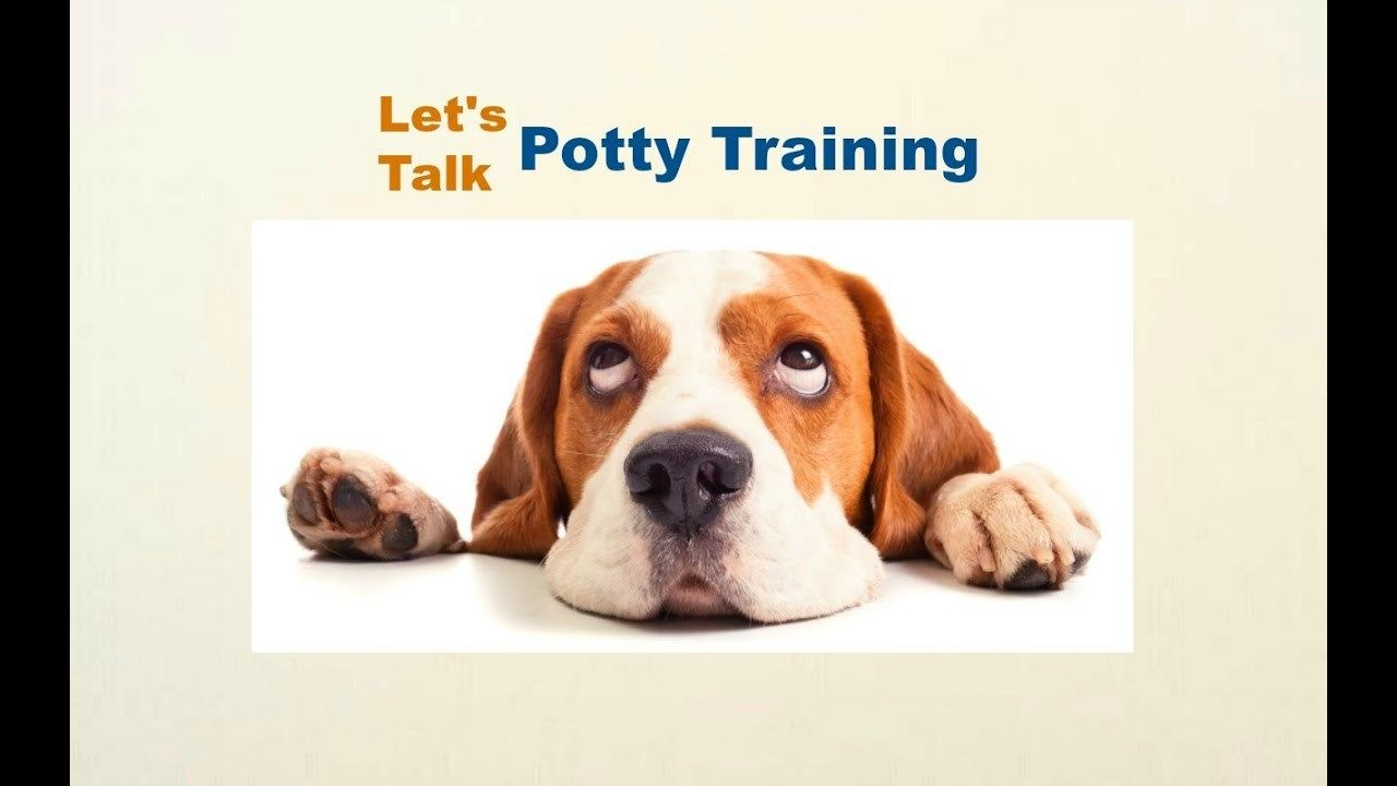 Beagle Puppy Potty Training The Very First Thing You Need To
