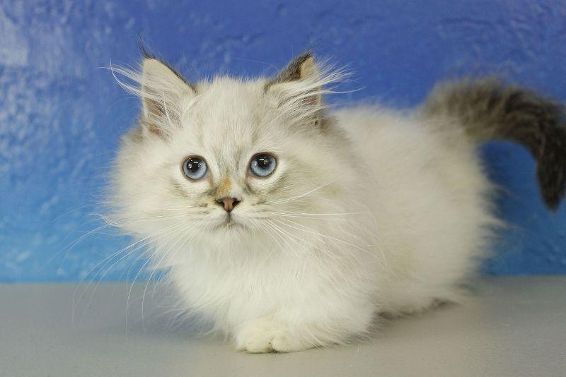 Boo Bear Seal Mitted Lynx Pointed Minuet Munchkin Cat Kitten