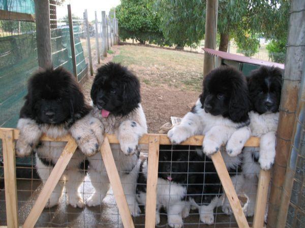 Ok Now Everyone Ahhhhhh 3 Too Cute Newfoundland Dog Newfoundland Dog Puppy Newfoundland Puppies