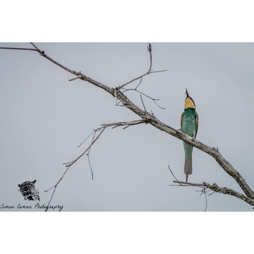 Hello everyone! Here is a picture of an European Bee-eater eating, guess what, a Bee! What they will do once they catch a bee is hit it on the branch to get the stinger of the Bee off. Only when the Stinger is off they will eat the Bee!  Take a look...