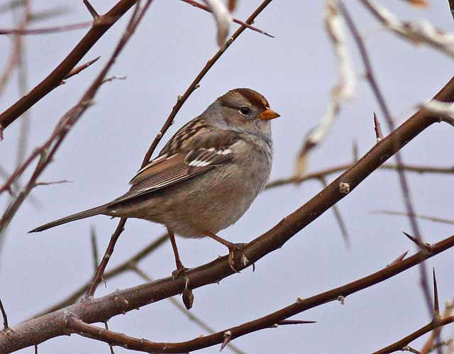 White-crowned Sparrow (1st Winter) by Keith Carlson, via Flickr