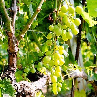 Essa é uma uva nativa da Itália. Na Sicília, chama-se Inzolia. Na Toscana, chama-se Ansonica. Atribui-se a origem da Inzolia à Sicília, maior ilha do Mediterrâneo, mas há estudiosos que tentam relacionar o nascimento da Inzolia à Grécia. E há quem afirme ser possível rastrear sua origem na Normandia. Não há consenso sobre o tema.