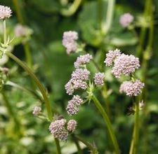 """How to Grow Valerian Root From Seeds; Valerian means """"to be strong or healthy"""" in Latin, and this translation is generally regarded to refer to its medicinal use.  Used for anti-convulsant, sedative, migraine treatment and pain reliever."""