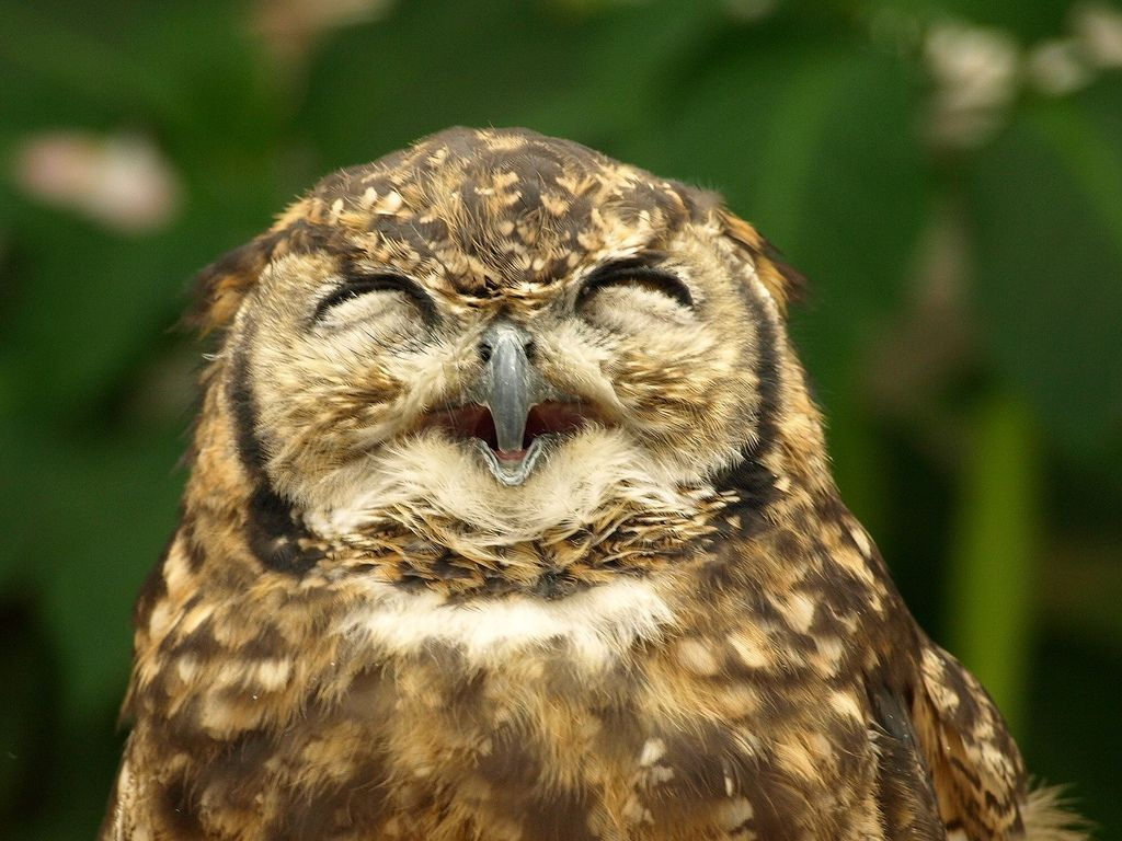 owl's smile!! :) | Birds-Strigiformes-Owls | Funny owls ... - photo#45
