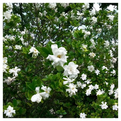 Gardenia August Beauty 1pc National Plant Network U S D A