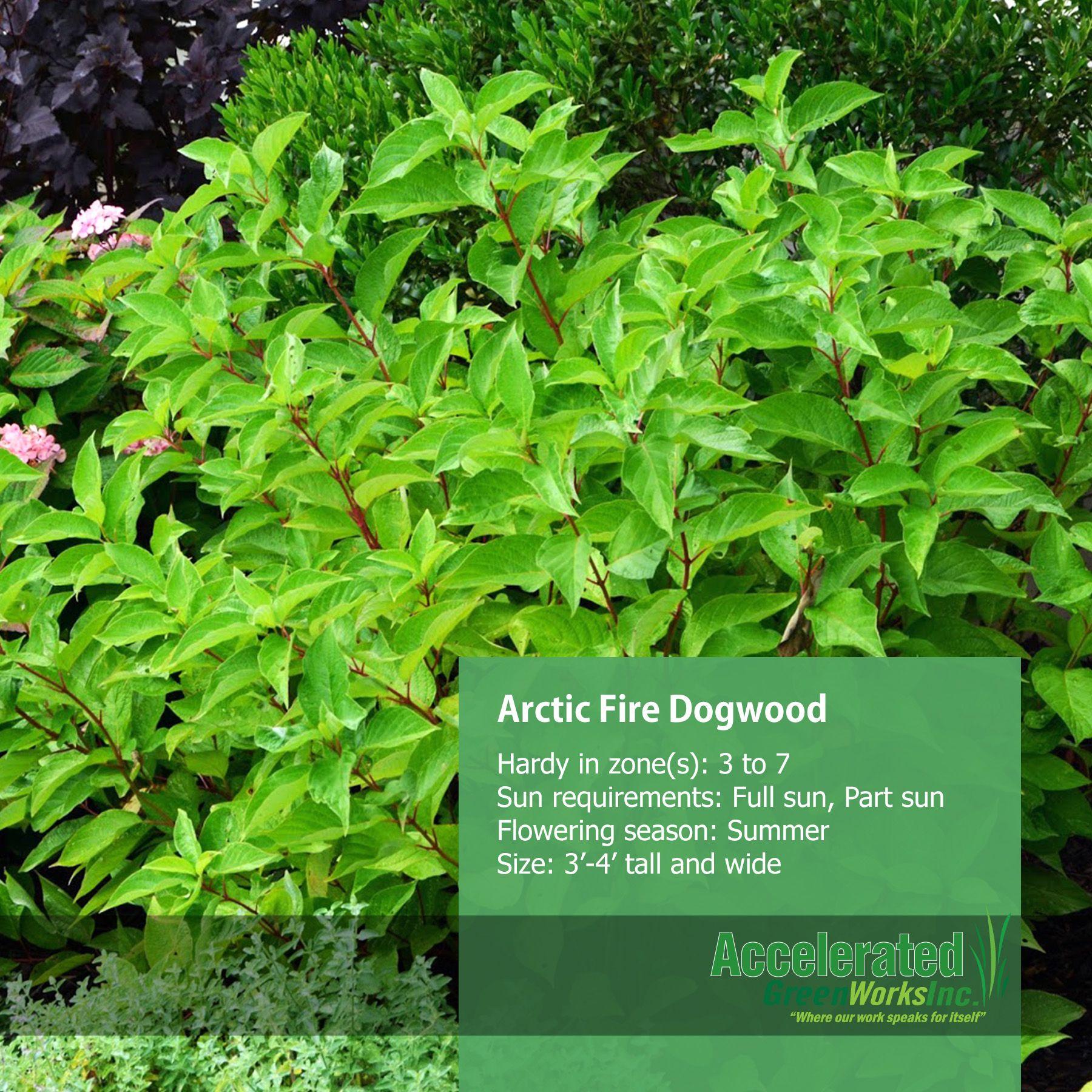 Arctic Fire Dogwood Dogwood Shrubs Flower Garden