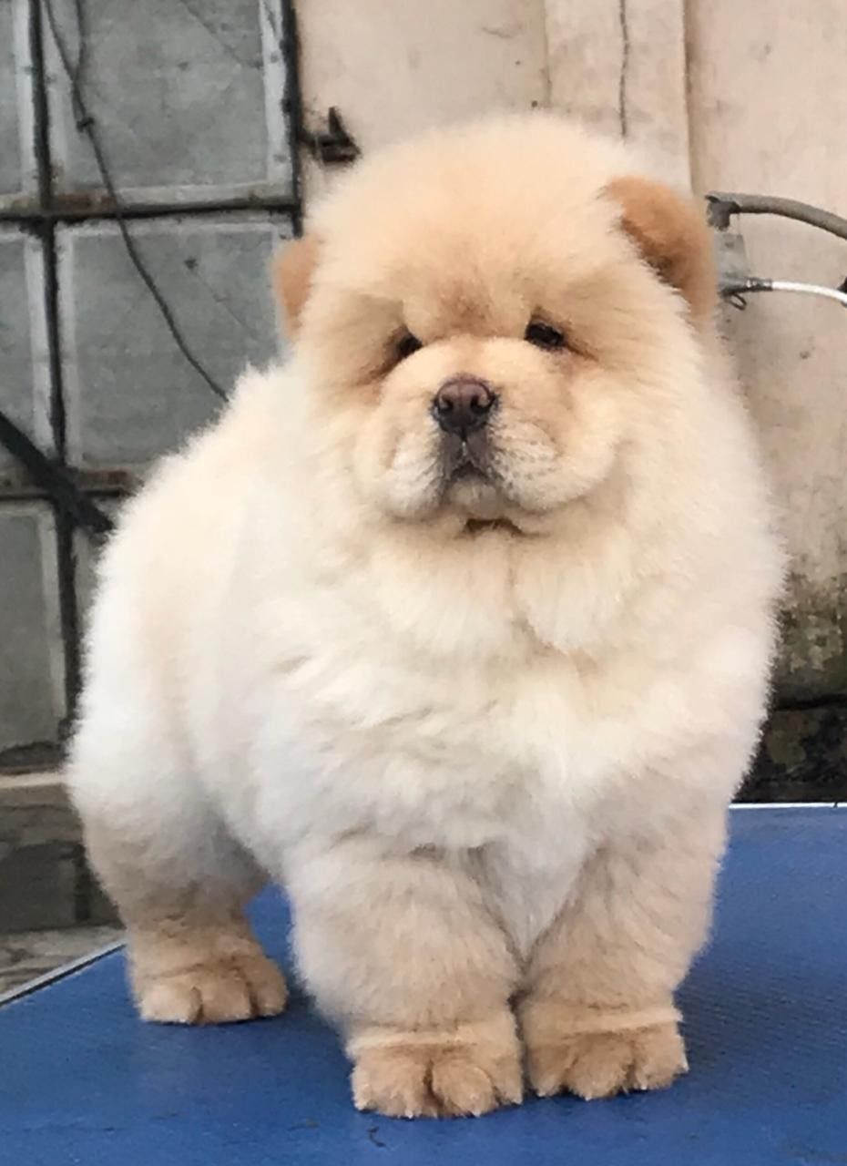 Cream Coat Chow Chow Puppies