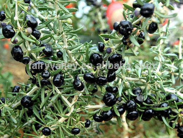 High Survival Rate Black Goji Berry Seeds For Growing Photo