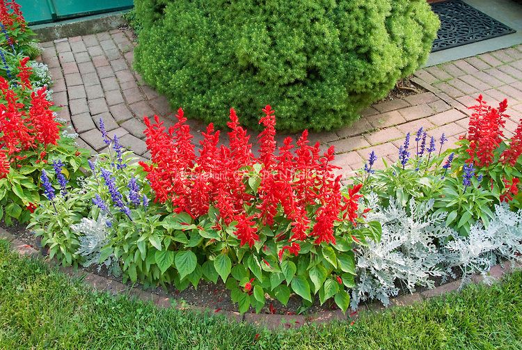 Salvia splendens red white dusty miller blue salvia - Plants with blue flowers a splash of colors in the garden ...
