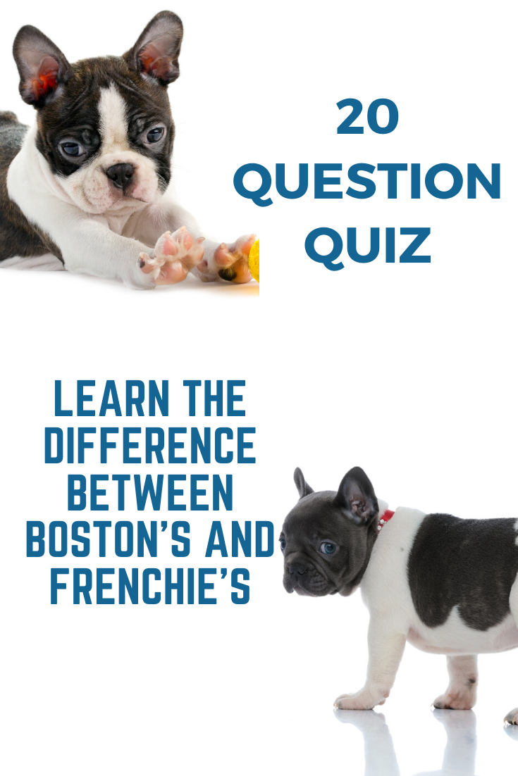 Quiz Is This A Boston Terrier Or Frenchie Photos Videos Boston Terrier Society In 2020 Boston Terrier Dog Boston Terrier Terrier