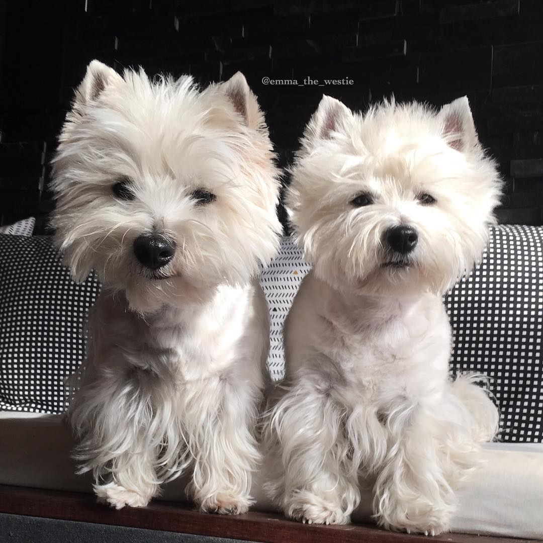 Emma The Westie And Eve With Images Westie Dogs Animals