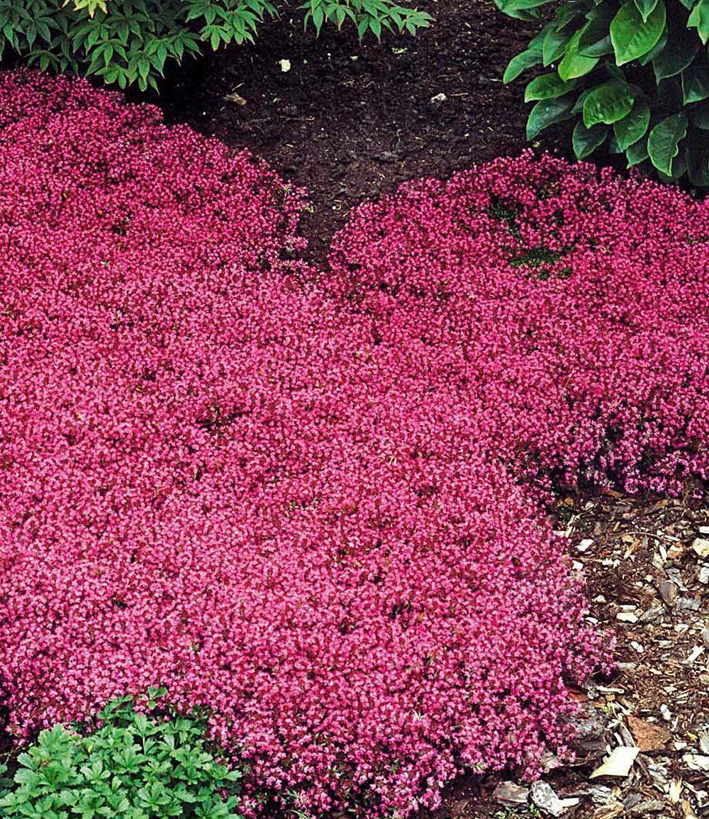 Bodendecker Thymian 3 Pflanzen