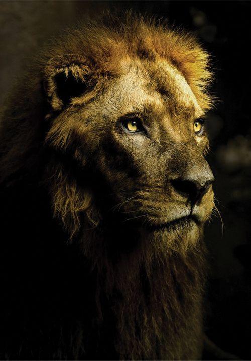 Majestic #lion ✿⊱╮