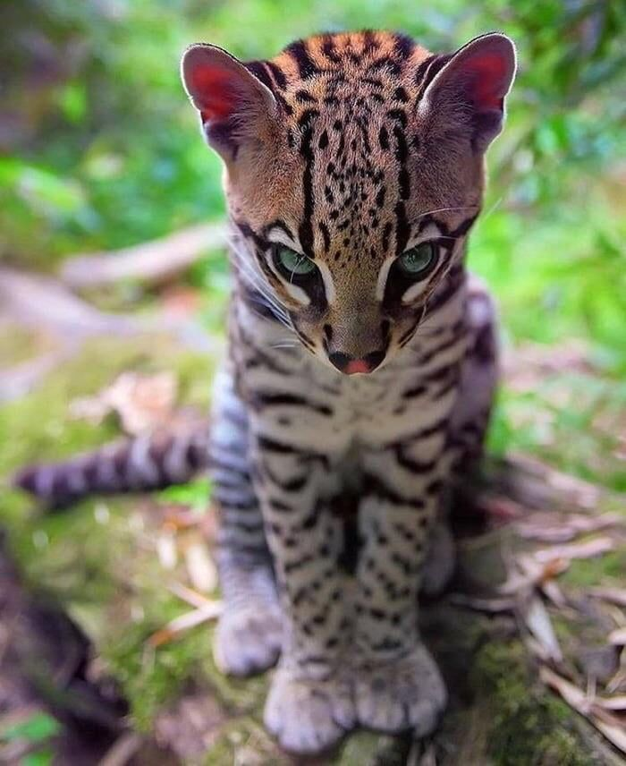 An ocelot initiating a stare contest with you