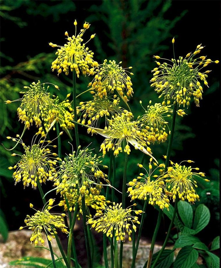 Allium flavum syn a webbii the small yellow onion circa 1759 allium flavum syn a webbii the small yellow onion circa 1759 fragrant umbels of pendant golden yellow bell shaped florets with blue green foliage mightylinksfo