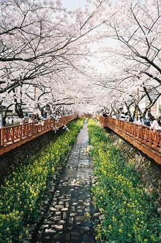 Jinhae Cherry Blossom Festival Korea Paisajes Corea Del Sur Paises