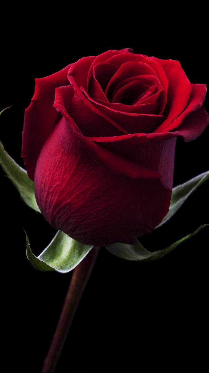 Deep red rose in the dark exotic flowers - Black and red rose wallpaper ...