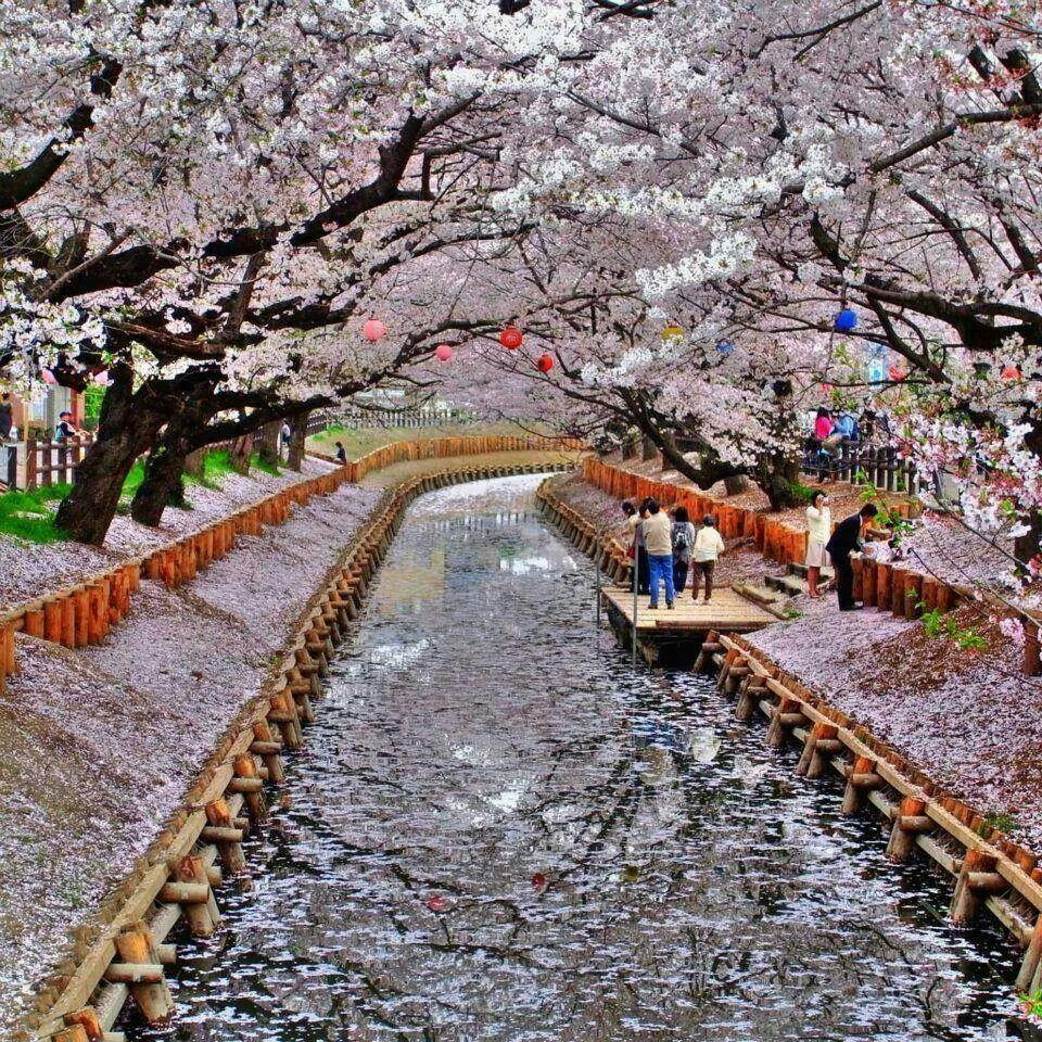 Cerezos en flor, Japón.