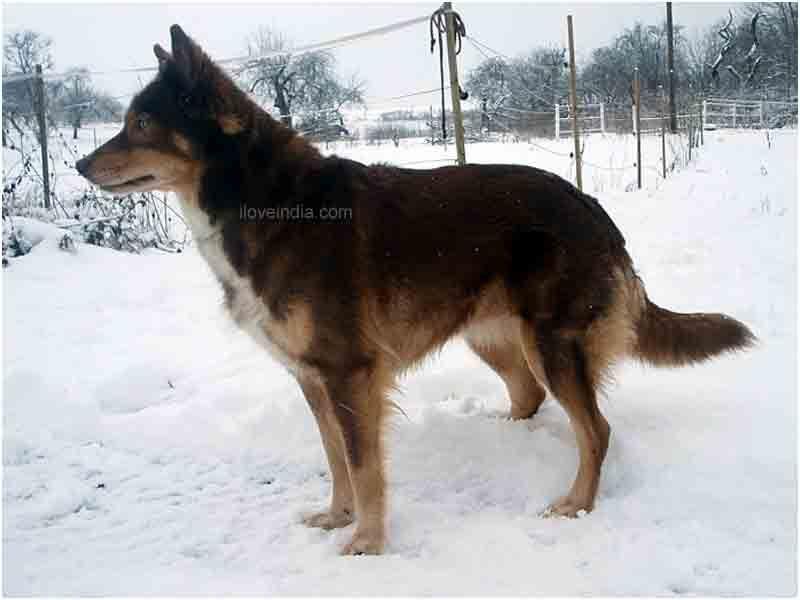 Tamaskan Dog Canada