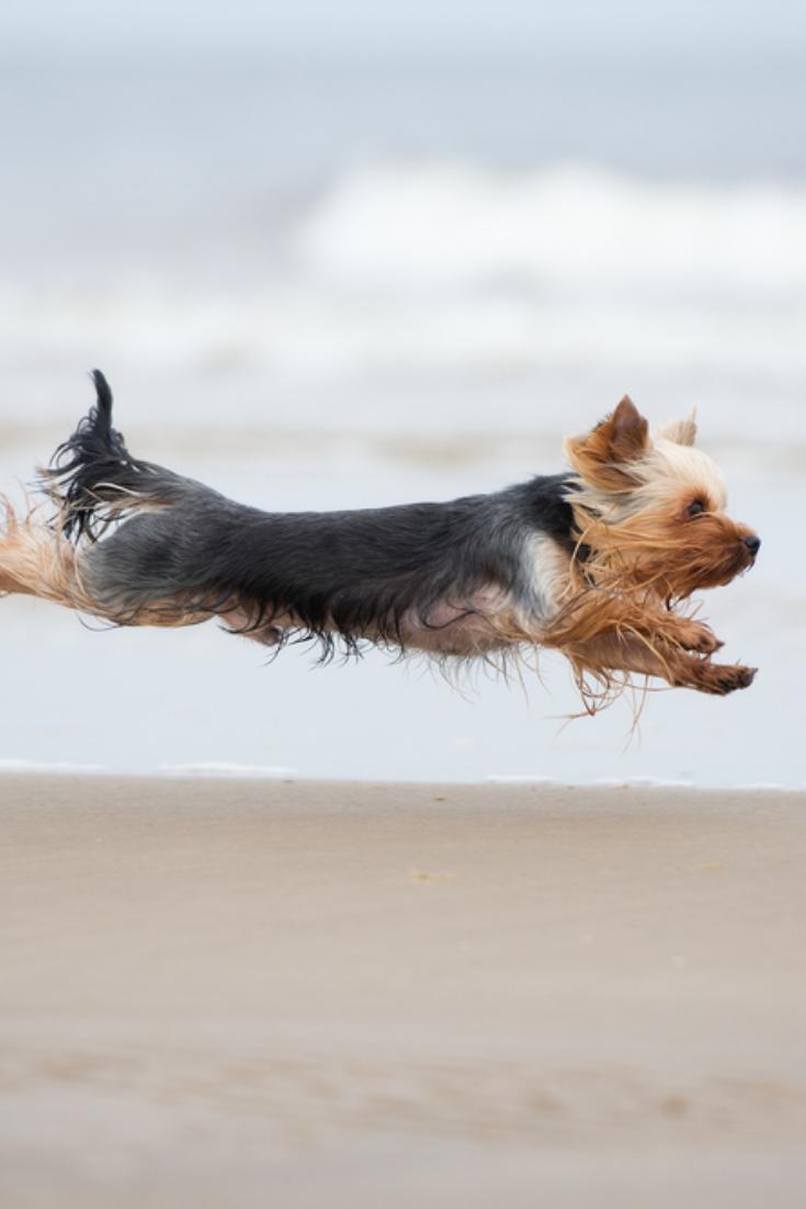 Yorkshire Terrier Dog Running On A Beach Yorkshireterrier Yorkshire Terrier Dog Yorkshire Terrier Puppies Terrier