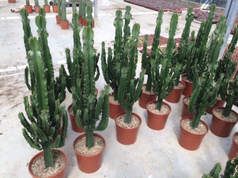 Xxl Euphorbia Eritrea Cactus Type House Plant Approx