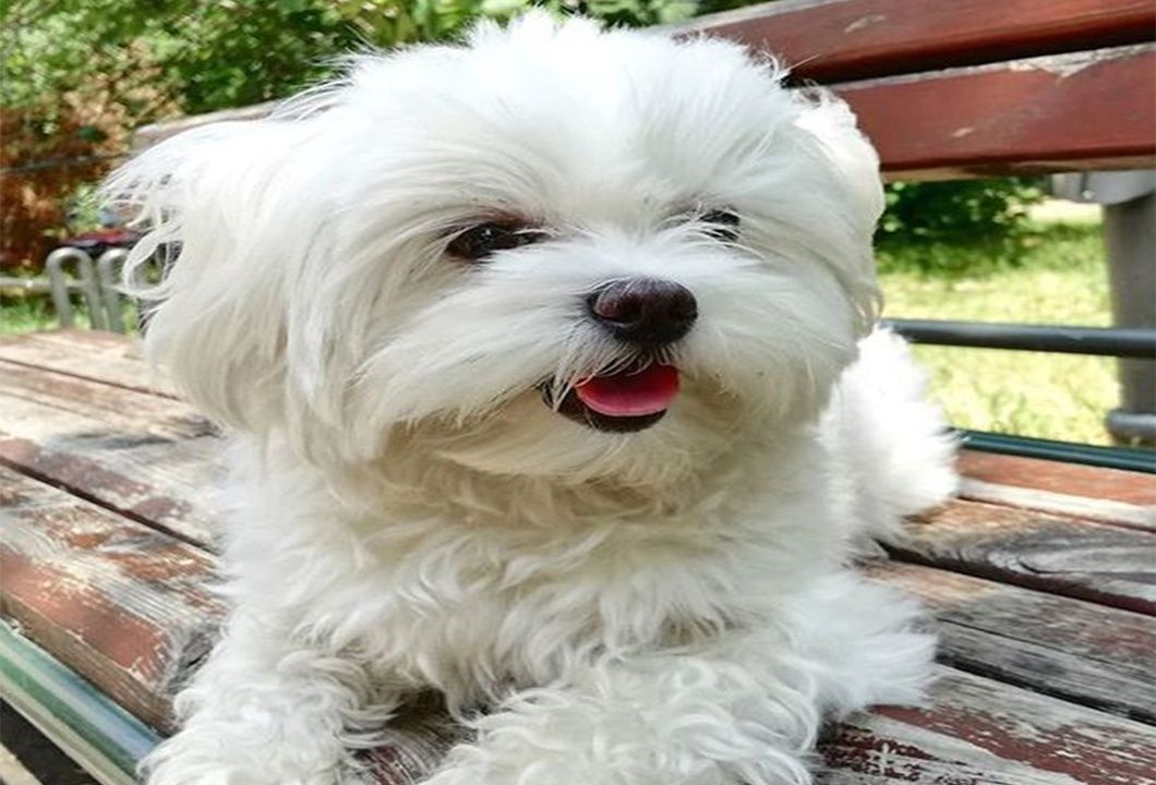Maltese A Sweet Family Toy Dog Breed Dog Breeds Toy Dog