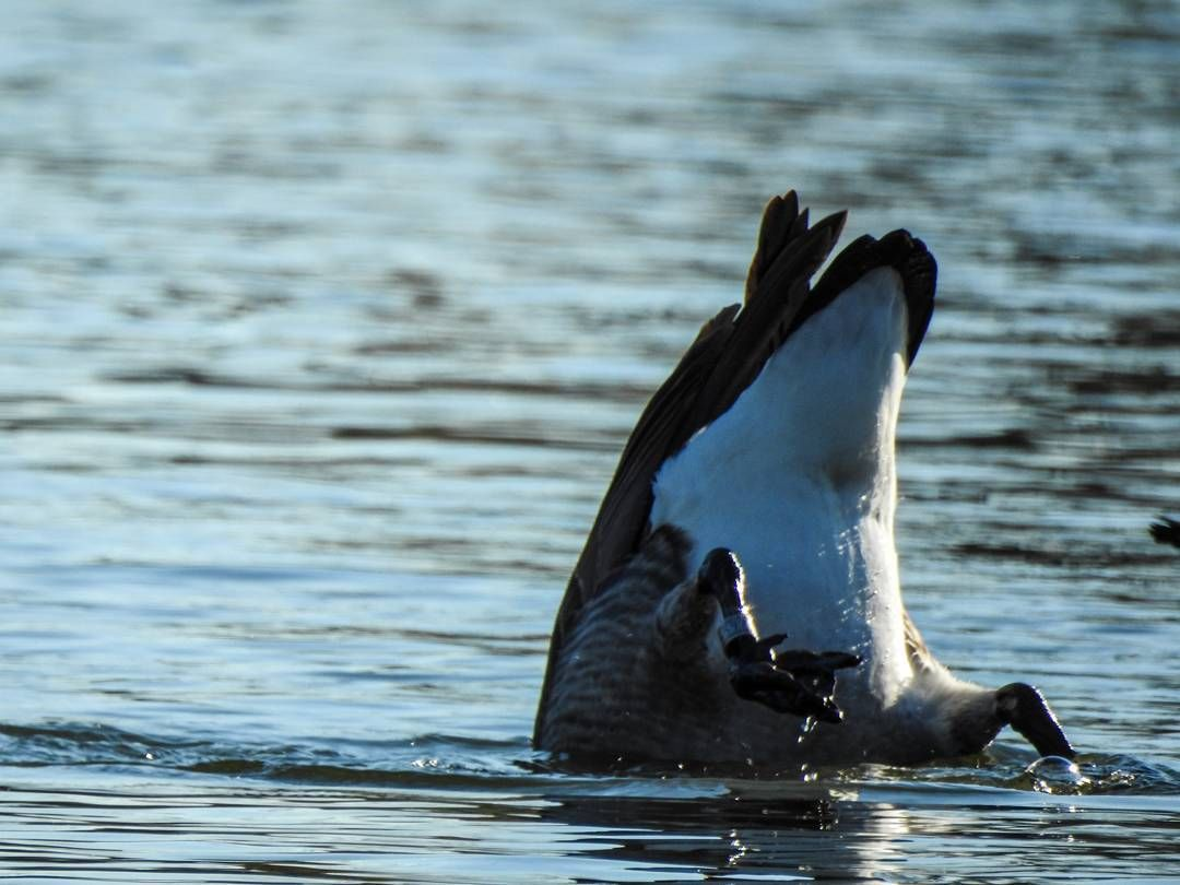 Bottoms up! #Goose #rearend #Nikon #P900 @nikonusa  Camera Used: Nikon COOLPIX P900 Digital Camera with 83x 2000mm Optical Zoom . Check it out on Amazon at http://amzn.to/1NXLwLg  Photo processed with #Adobe #Lightroom . Check it out on Amazon at http://amzn.to/1NHUI4x
